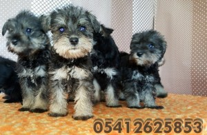 black-and-silver-schnauzer (1)