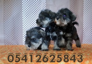 black-and-silver-schnauzer (2)