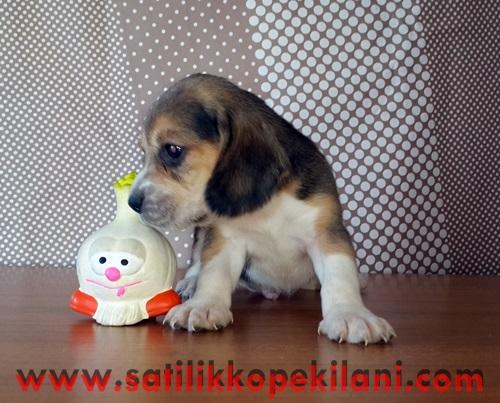 Beagle Yavrular