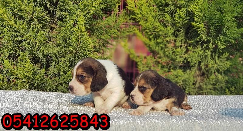 Satılık beagle yavru