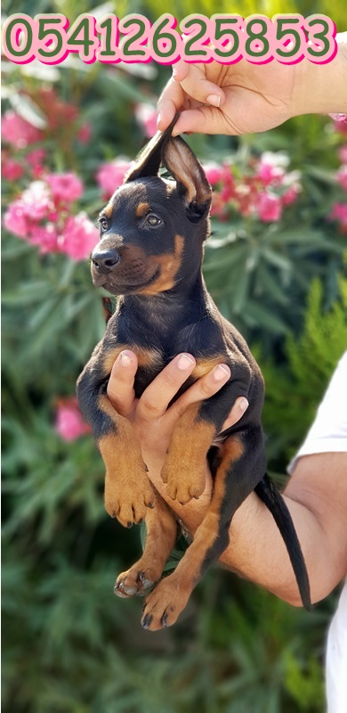 King doberman yavru