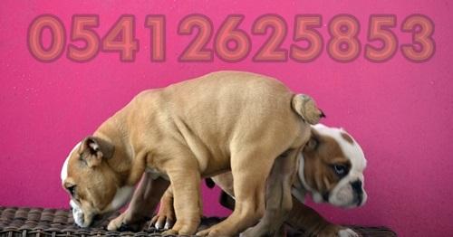 İngiliz Bulldog Yavrusu