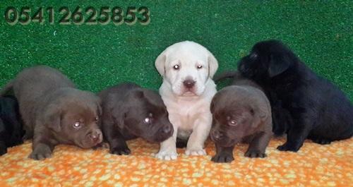 Labrador Yavruları