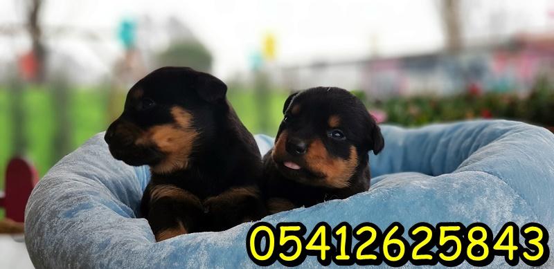 rottweiler satılık