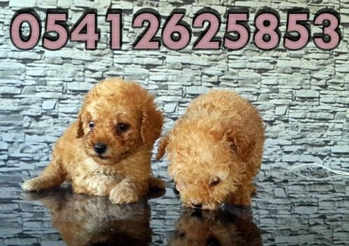 Toy Poodle Yavru Fiyatları