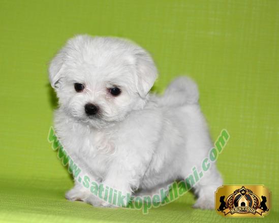 Maltese Terrier Yavru Fiyatları