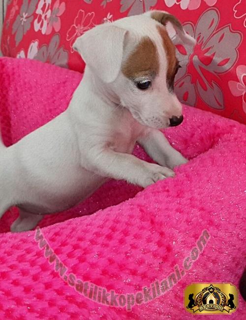 Jack Russell Terrier Yavru Fiyatları