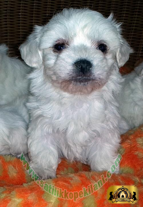 Teacup Maltese Terrier Yavru