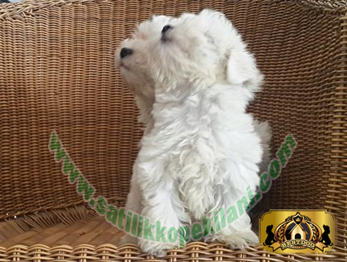 Maltese Terrier Yavru İlanları