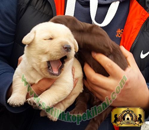 Labrador Retriever Yavru Özellikleri