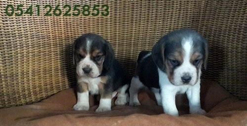 Beagle Yavru Fiyatları