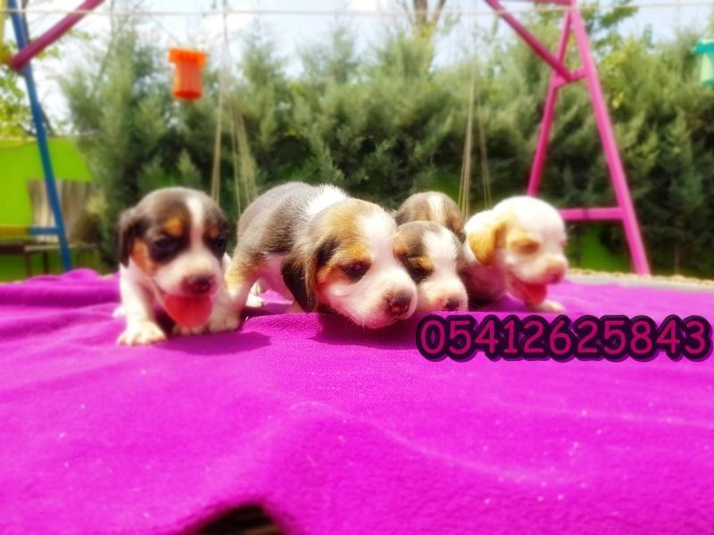 beagle yavru fiyatı