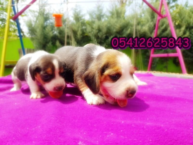 beagle yavru ilanı