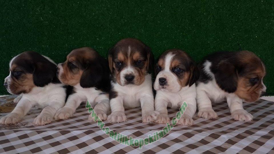 Beagle Yavru Özellikleri
