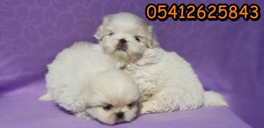 beyaz pekines yavruları