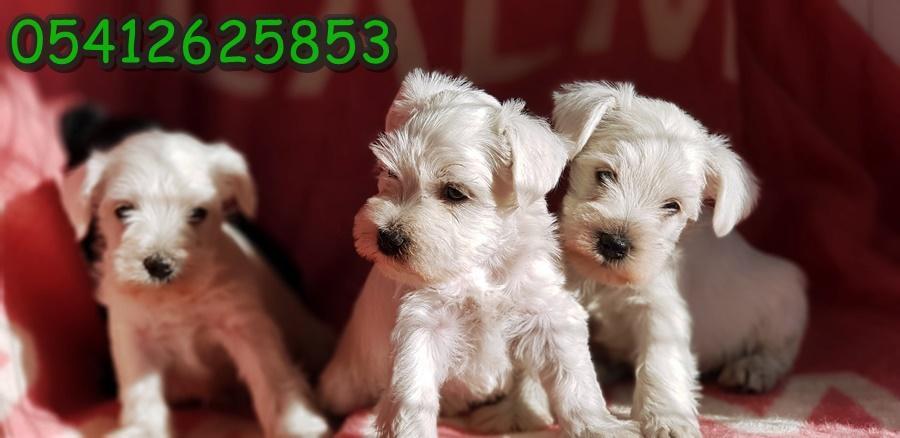 Beyaz Minyatür Schnauzer Yavruları