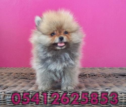 Pomeranian Boo Dog Yavru