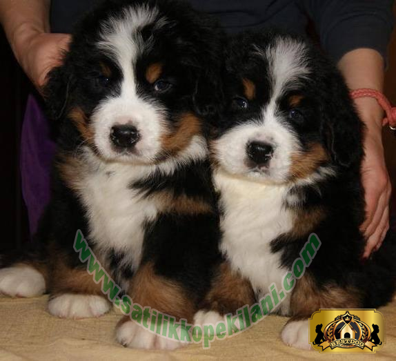 Bernese Mountain Dog Yavru İlani