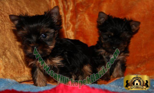 Tea Cup Yorkshire Terrier Yavru