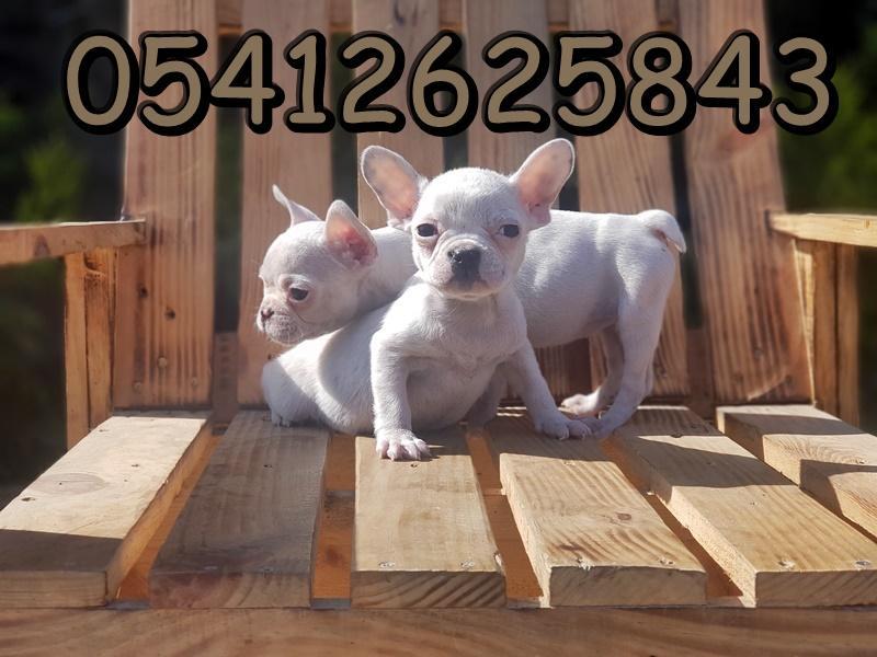fransız bulldog fiyatı