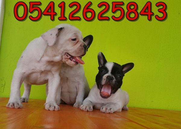 fransız bulldog ırk özellikleri