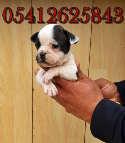 Fransız Bulldog Yavru