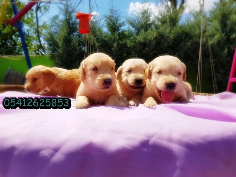 golden yavruları