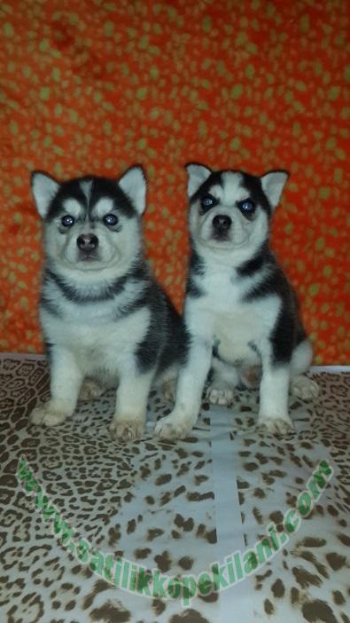 Husky Sibirya Kurdu Yavru Fiyatları