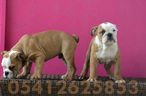 İngiliz Bulldog Yavru