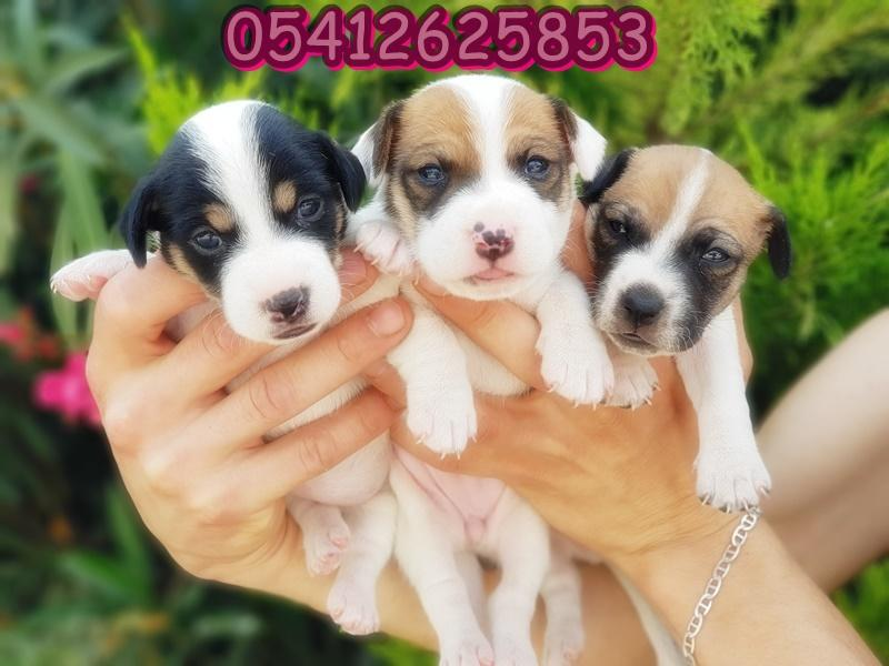 jack russell terrier ilanı