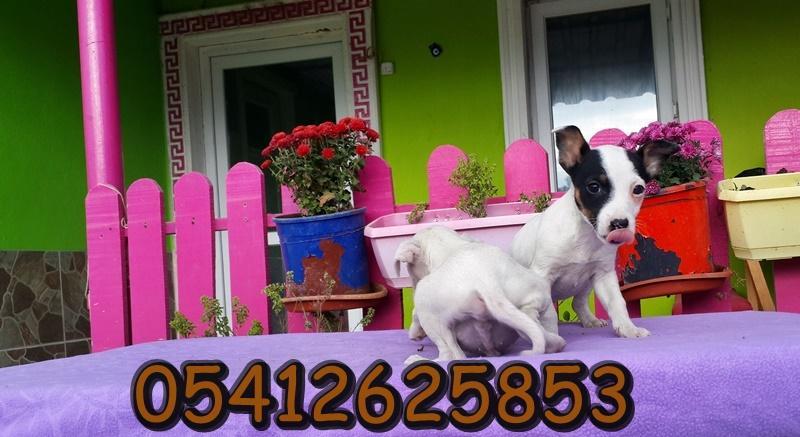 jack russell terrier özellikleri