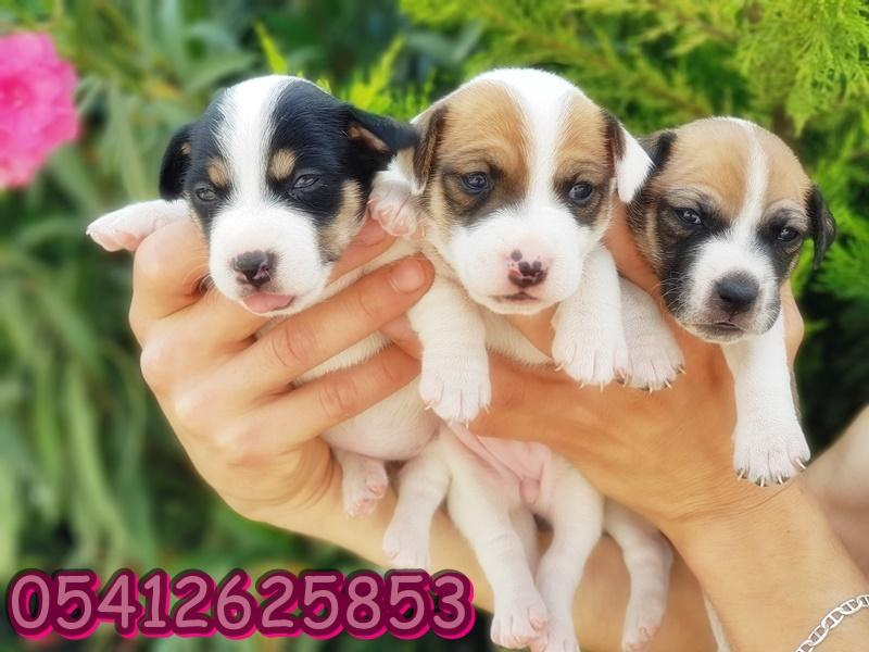 jack russell terrier yavrusu