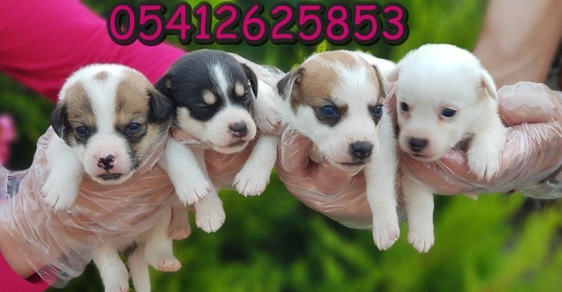 Jack Rusell Terrier Yavru