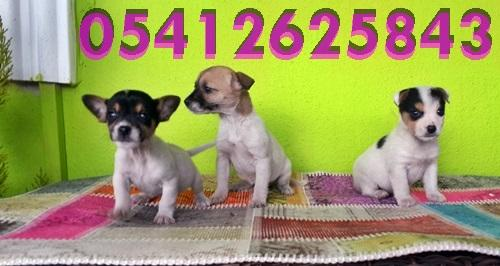 Jack Russell Terrier Yavru