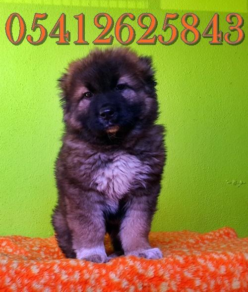 kafkas çoban köpeği fiyat