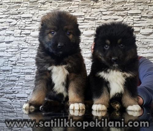 kafkas çoban köpek boyutları