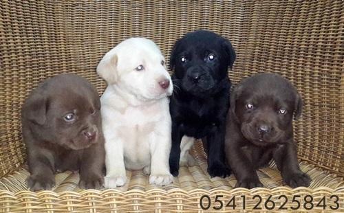 Labrador Retriever Yavru İlanları