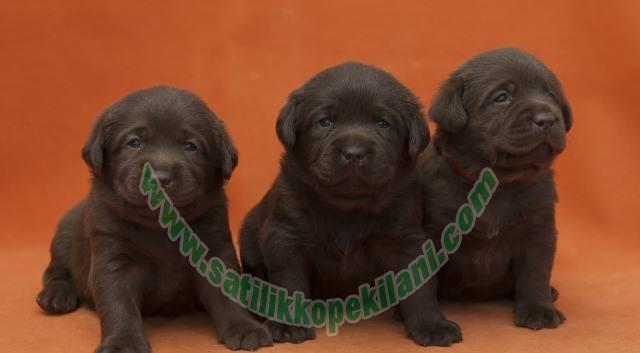 Kahverengi Labrador Yavru İlanları