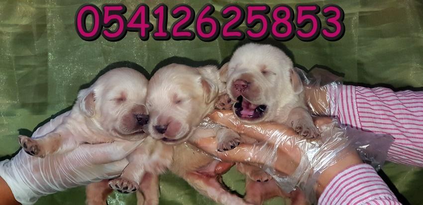 Labrador Yavru İlanları