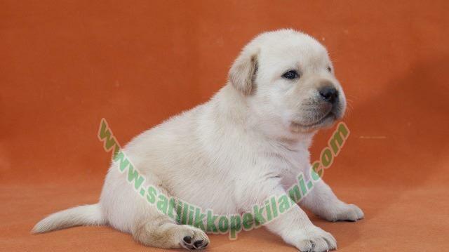 Labrador Yavru Fiyatları