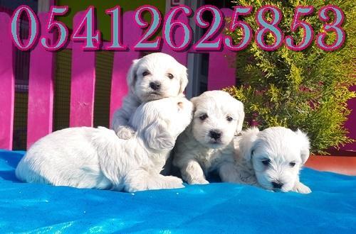 maltes terrier ilanları