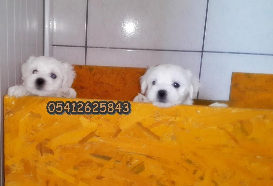 maltese terrier ilanı