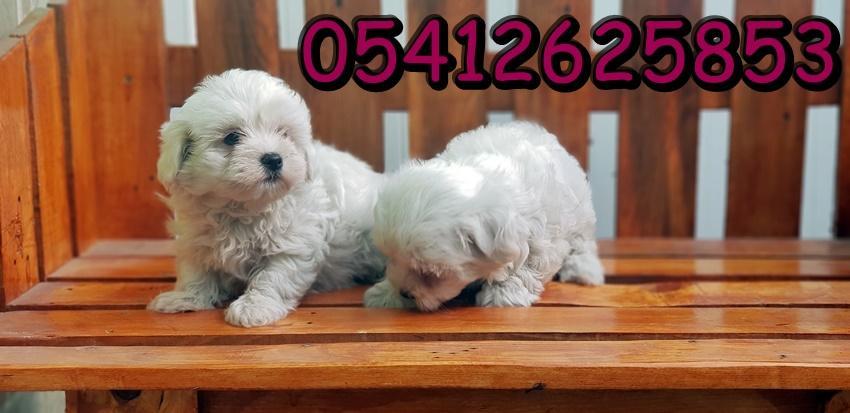 maltese terrier yavru fiyatı