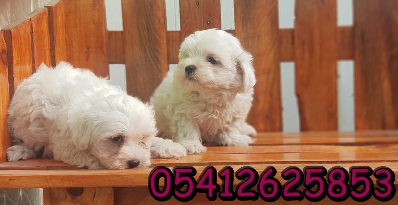 maltese terrier yavru ilanı