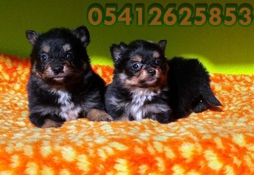 Pomeranian Yavrular