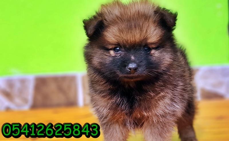 Pomeranian Boo Yavrusu