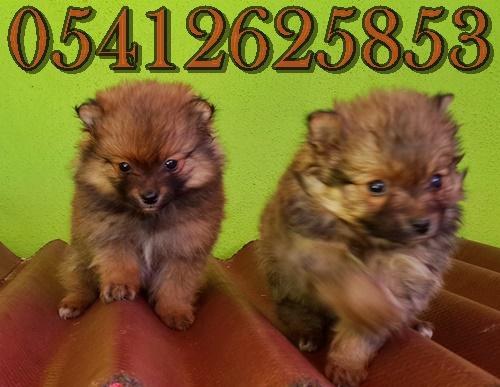 Pomeranian Yavruları