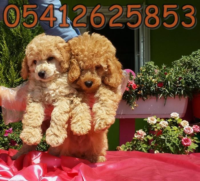 poodle fiyatları