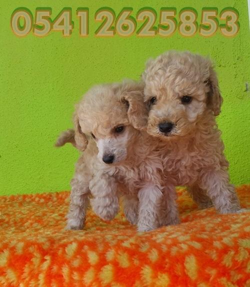 Toy Poodle Yavru