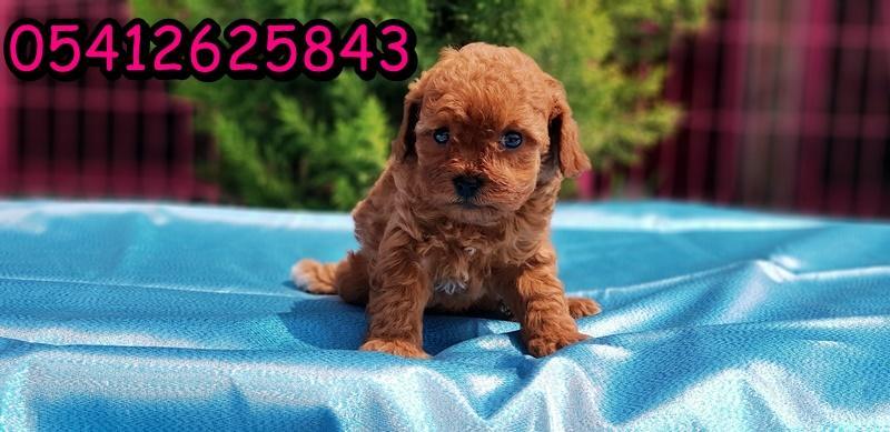 Kızıl Toy Poodle Yavru